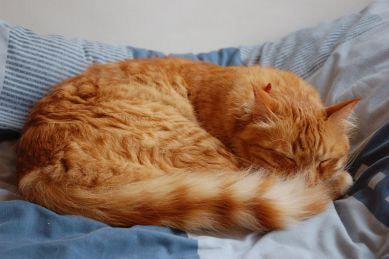 Feline Hypertension (high blood pressure)