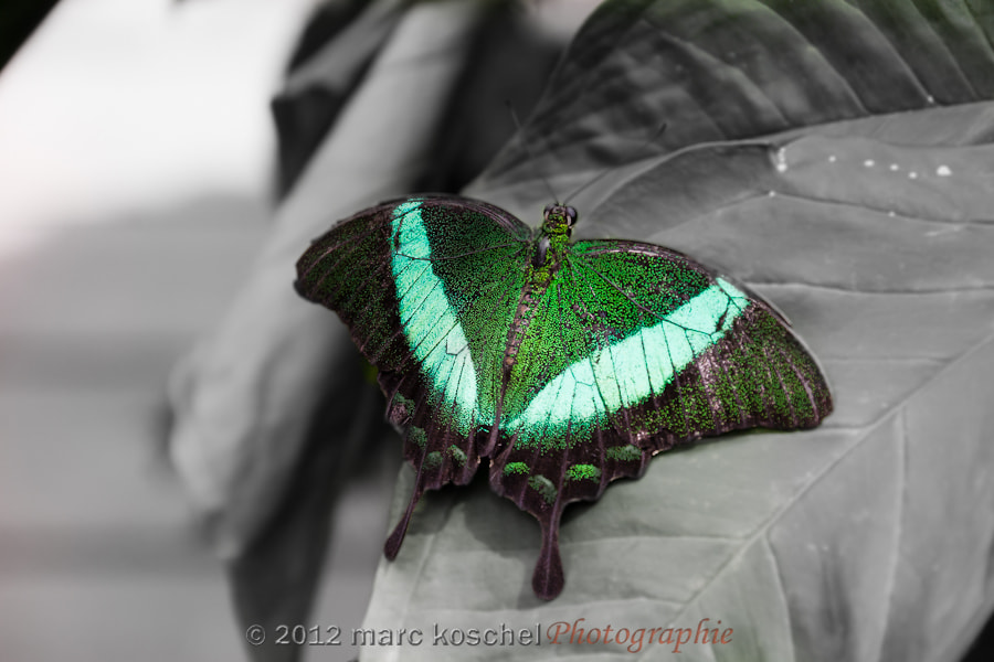 Photograph Butterfly by Marc Koschel on 500px
