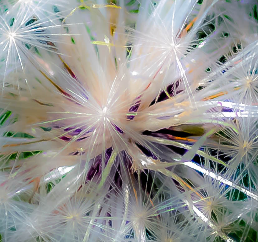 Photograph Dandelion Clock by julian john on 500px