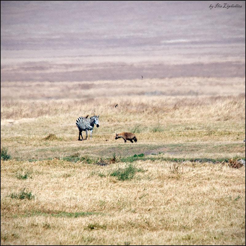 hyena hunts №1
