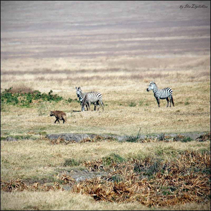 hyena hunts №2