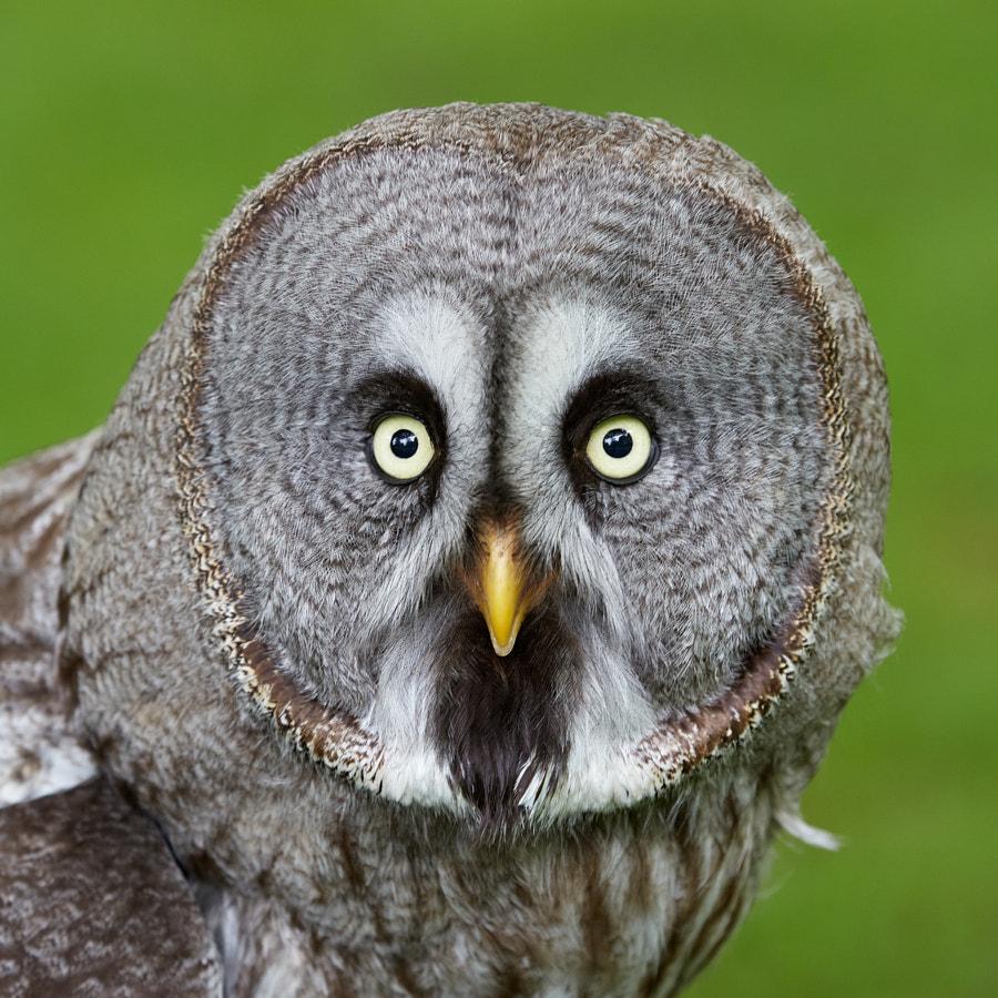 A Lapland Owl