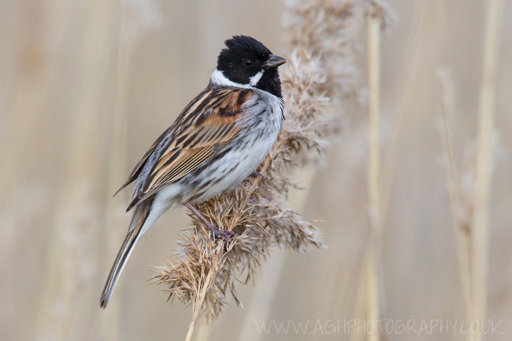 Photograph Reed Bunting by Tony House on 500px