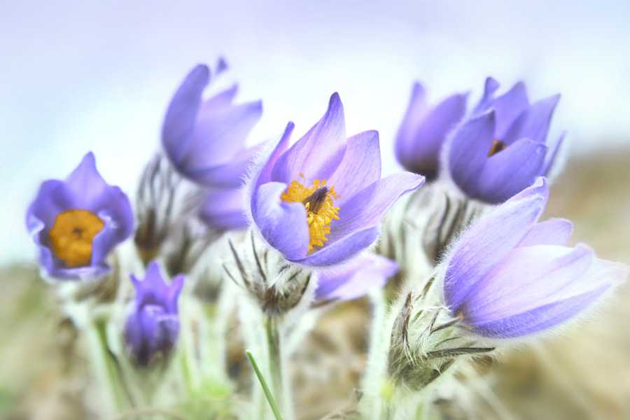 pasque flowers by Olena Zaskochenko on 500px