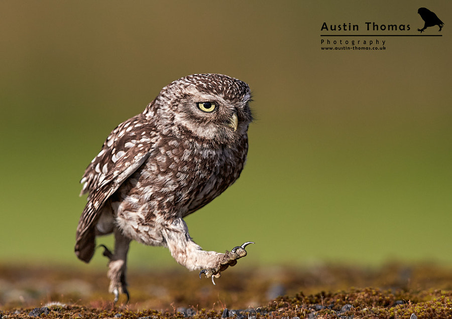 "A ""classic"" Little Owl walking... by Austin Thomas"
