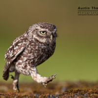"A ""classic"" Little Owl walking..."