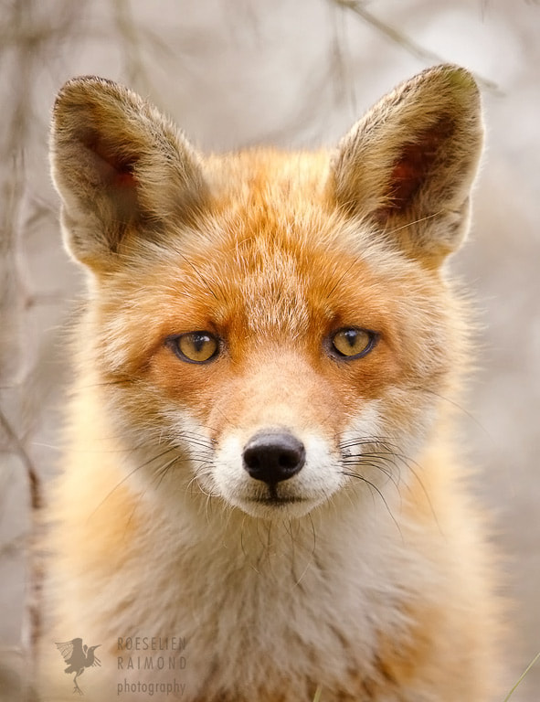 Sad Eyed Fox Of The Lowlands by Roeselien Raimond