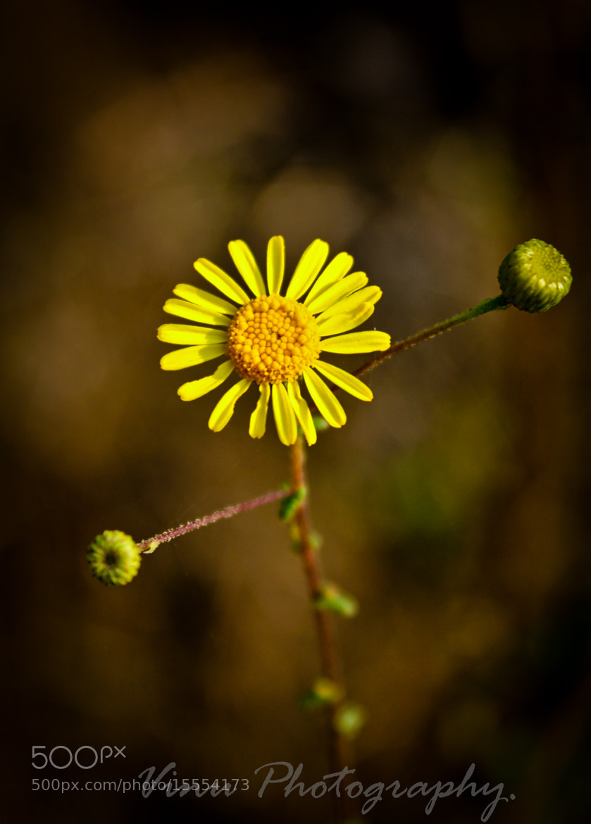 Photograph A Bright Yellow Flower by Vinu Padmanabhan on 500px