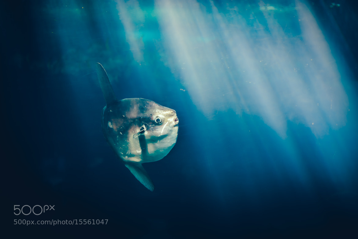 Photograph ocean sunfish by Chris Zielecki on 500px