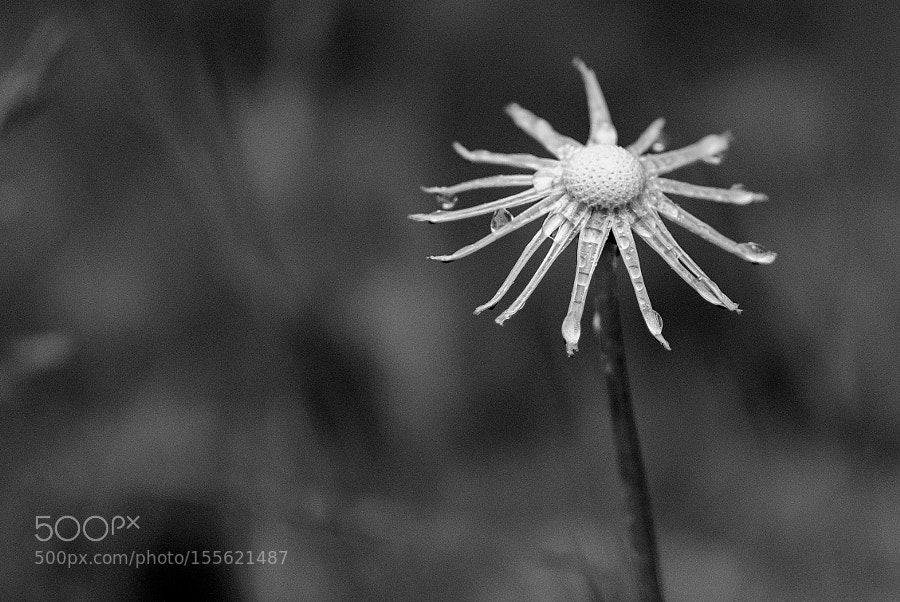 Dandelion, ceased to be