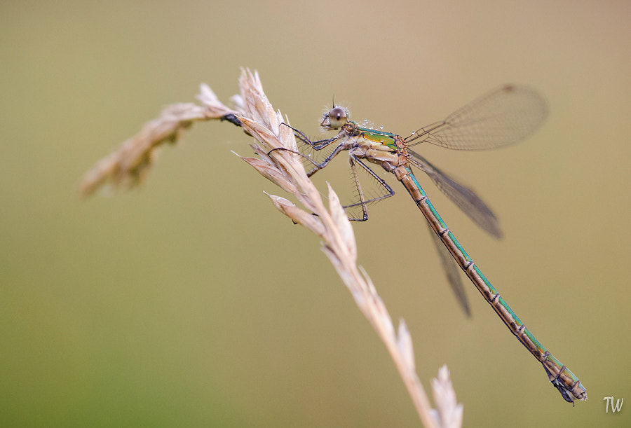 Photograph Damselfly by Trond  Westby on 500px