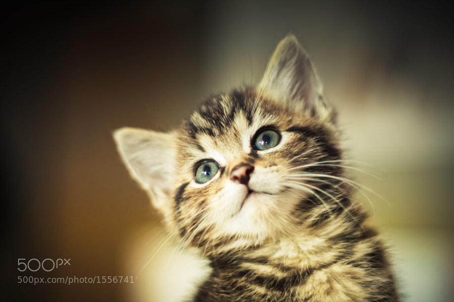 Kitten Smile by David Herreman