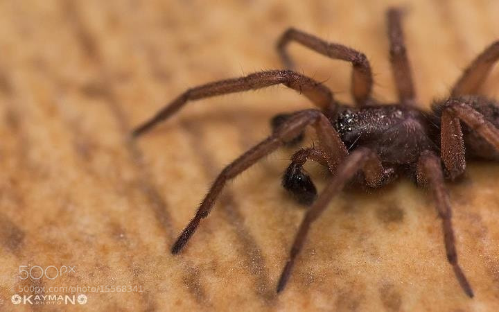 Photograph Wolf Spider by Kayman Studio on 500px