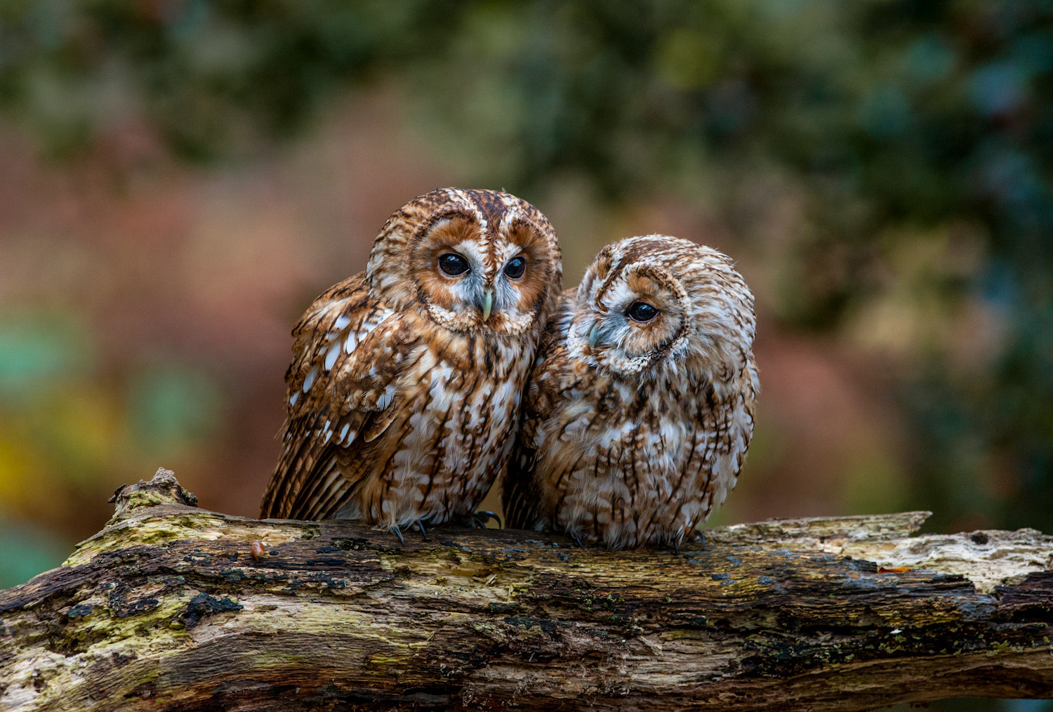Photograph Owls by Peter Hale on 500px