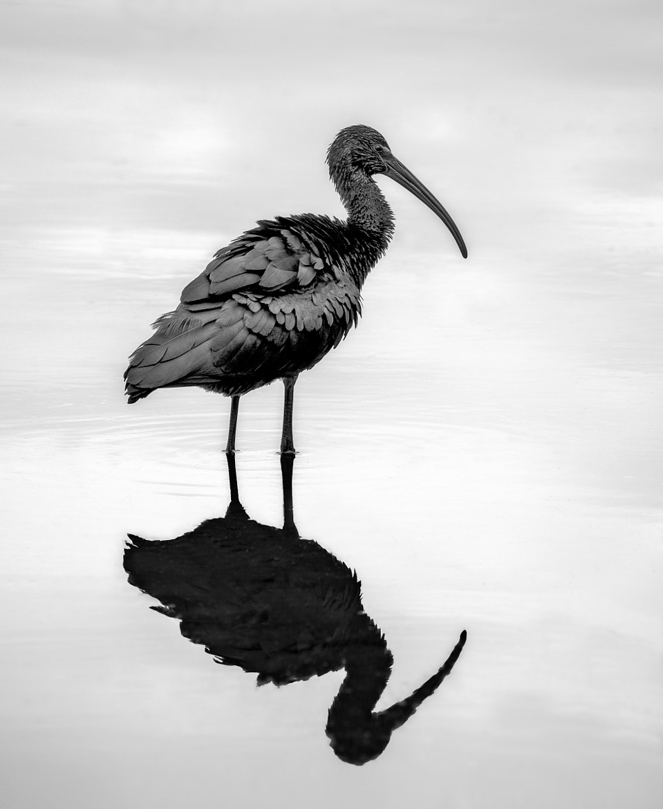 Photograph Glossy Ibis B&W by Steven Kersting on 500px