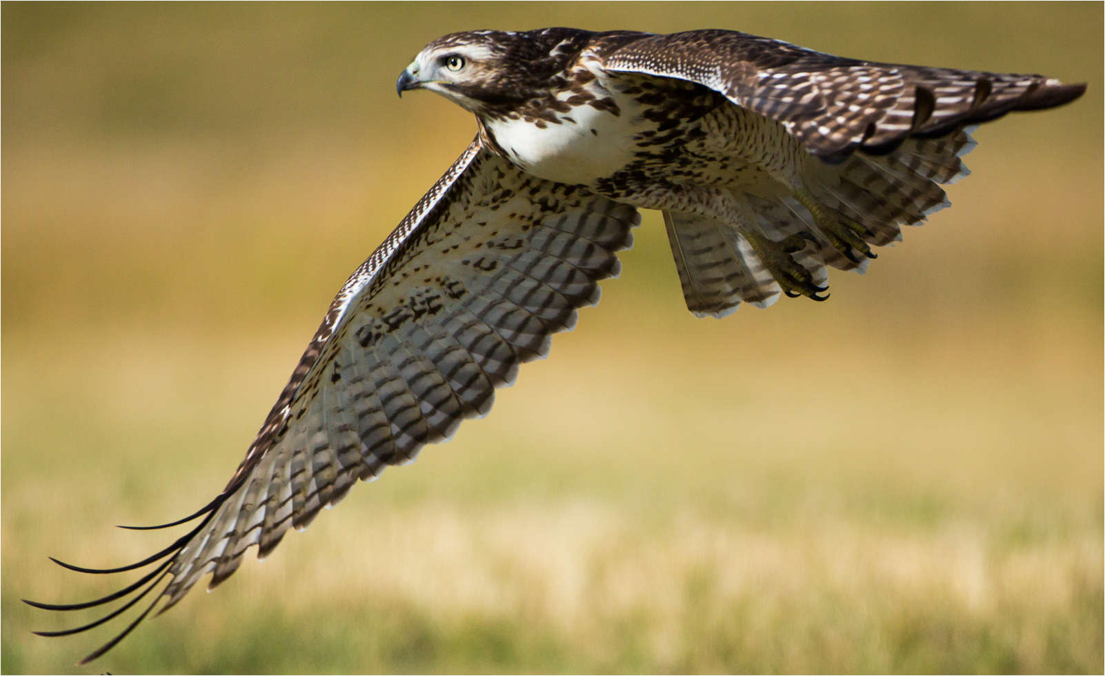 Photograph Red-tailed hawk downstroke by Christopher Martin on 500px