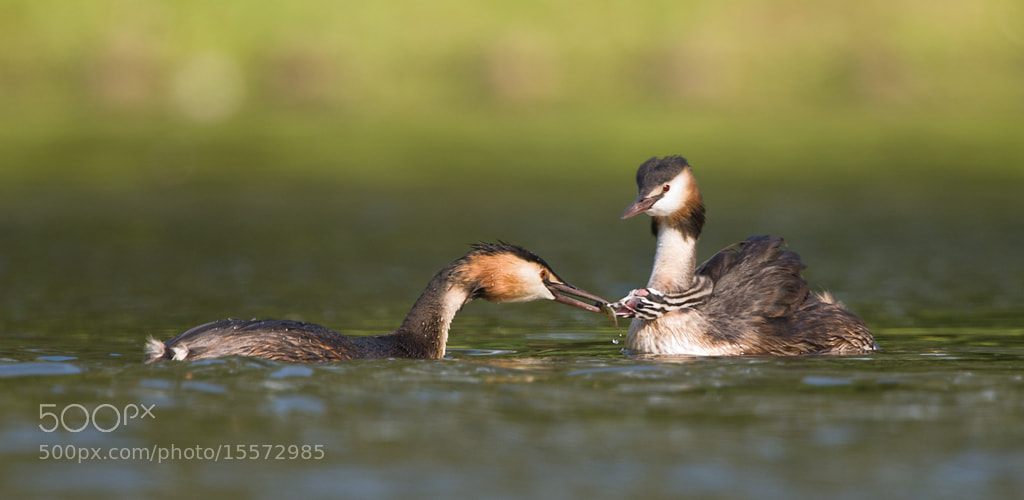 Photograph Great Crested Grebe feeding chick by Paul Hill on 500px