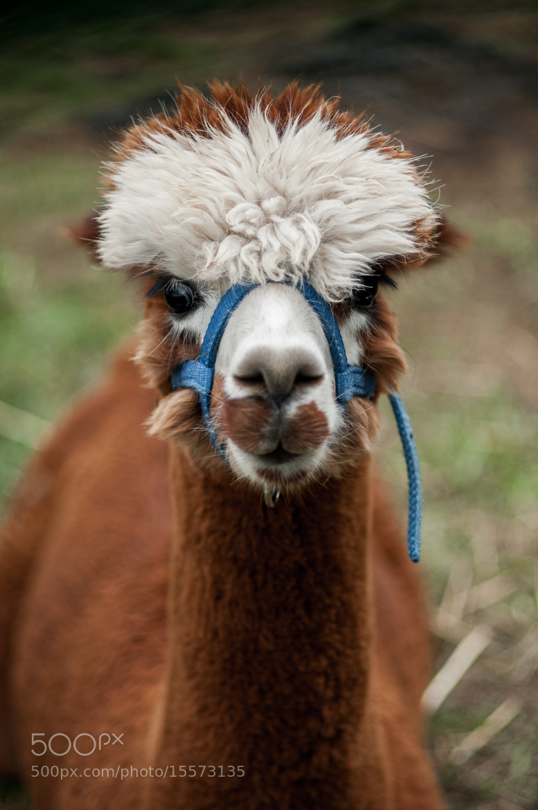 Photograph Alpaca by Steve Losh on 500px