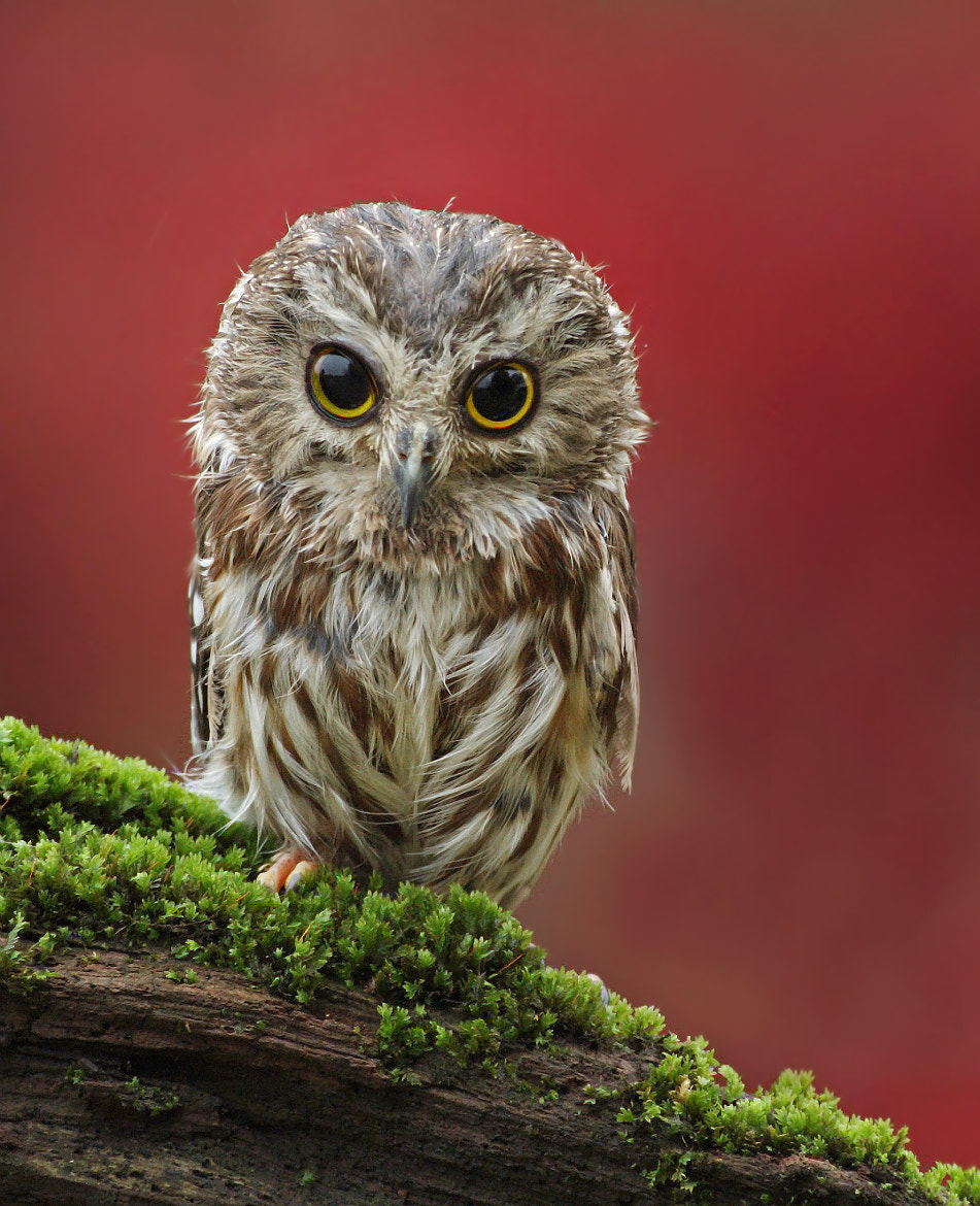 Photograph Saw Whet Owl by David Hemmings on 500px