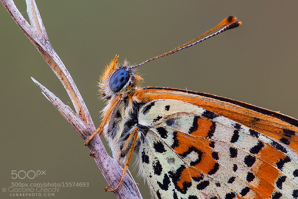 Photograph Melitaea didyma by Giacomo Checchi on 500px