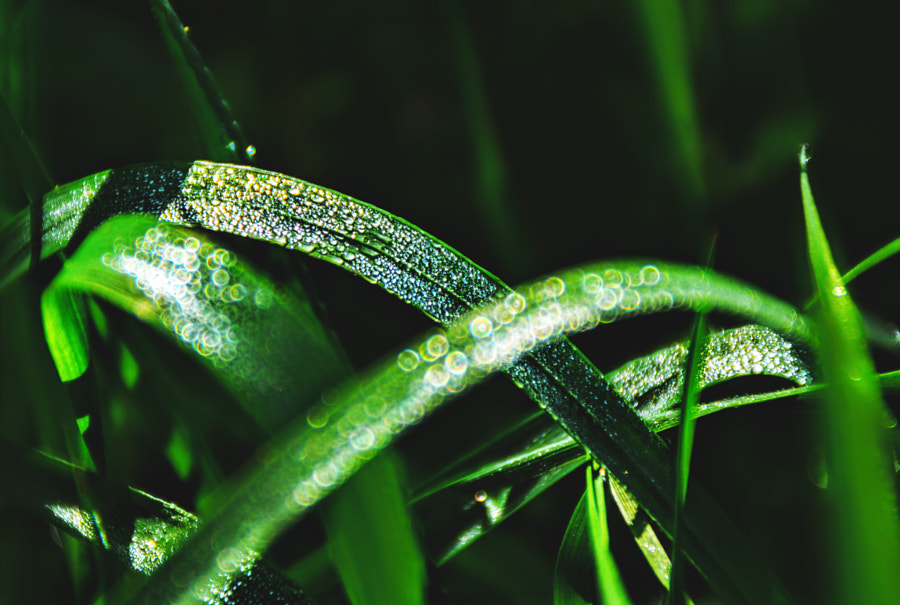 Morning dew by Bart Rogiers on 500px.com