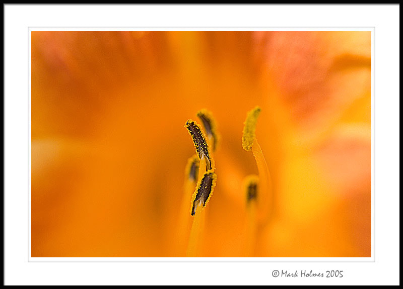Photograph Daylily Macro by Mark Holmes on 500px