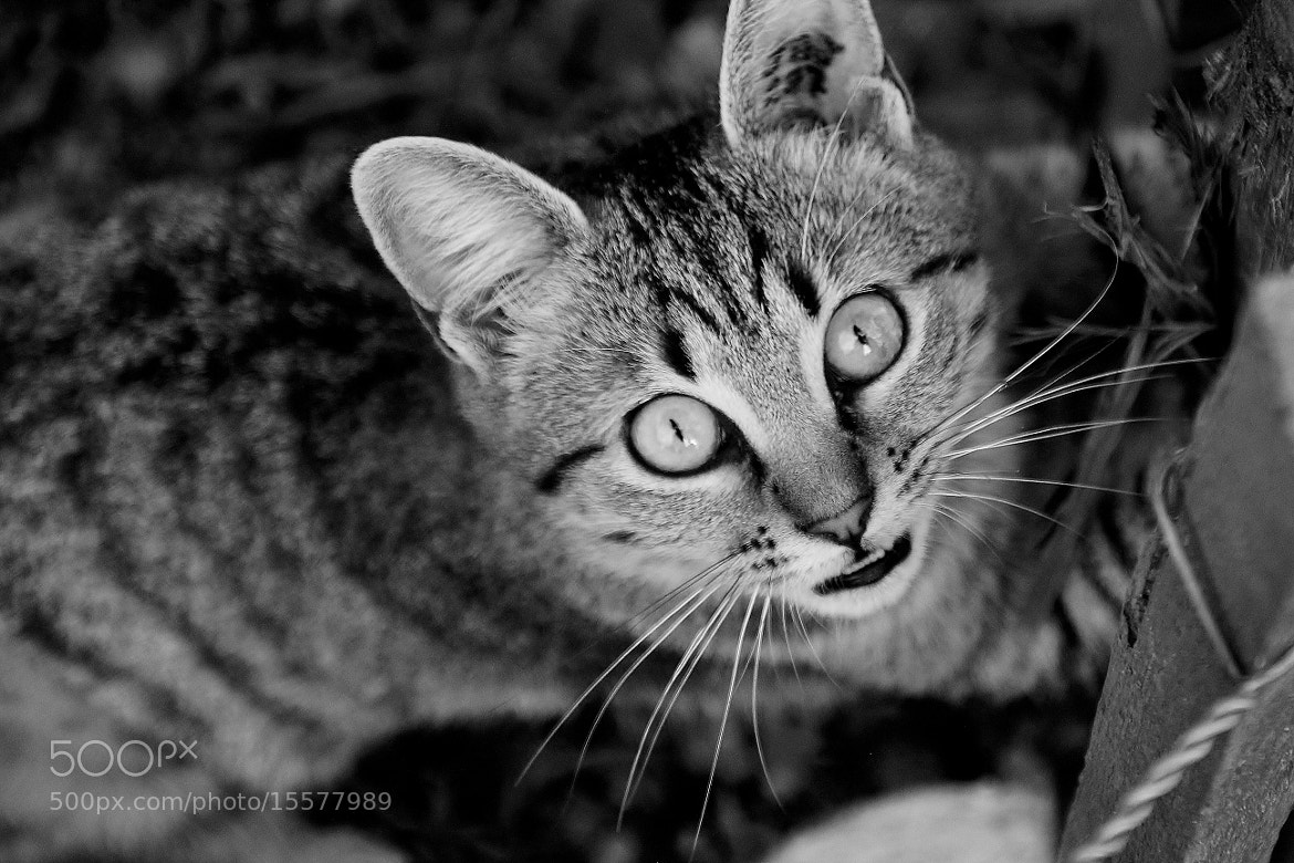 Photograph Kitty by Marie BALLEFIN on 500px