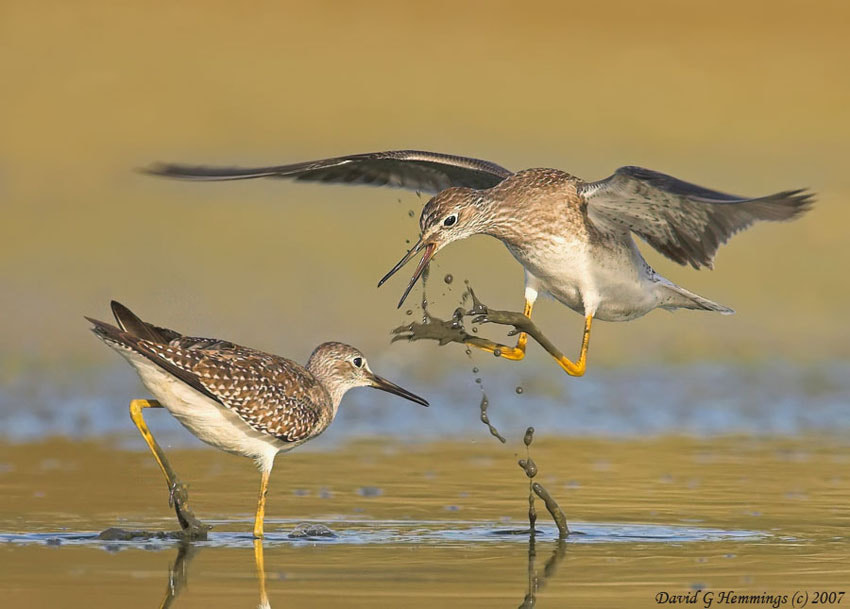 Photograph Lesser Yellowlegs by David Hemmings on 500px
