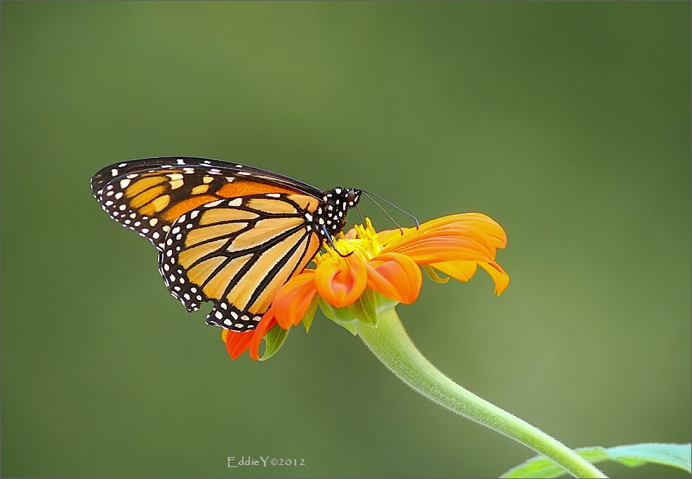 Photograph Monarch Butterfly by Eddie Yu on 500px