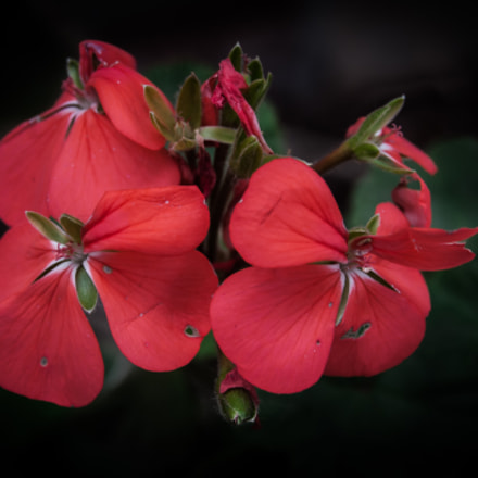 Genus Pelargonium #2
