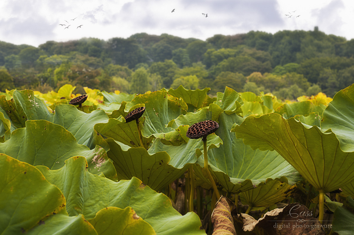Photograph Lily Pod Fields by Cass Peterson Greene on 500px