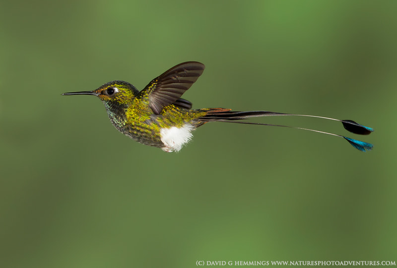 Photograph Booted Racket Tail by David Hemmings on 500px