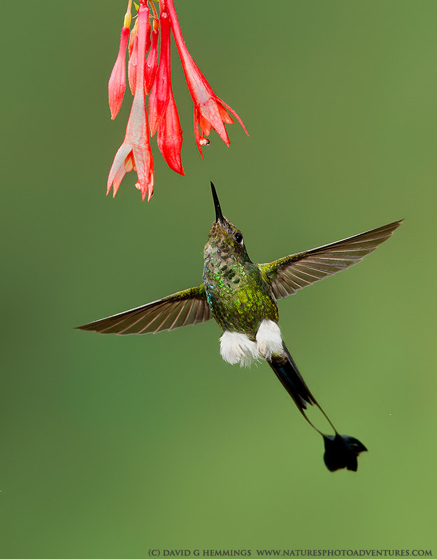 Photograph Booted Racket Tail 2 by David Hemmings on 500px