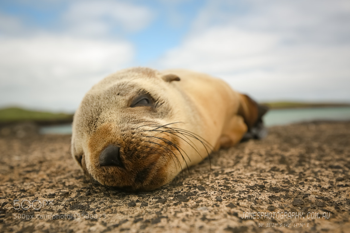Photograph Baby Seal Port Fairy by James PhotoGraphy on 500px