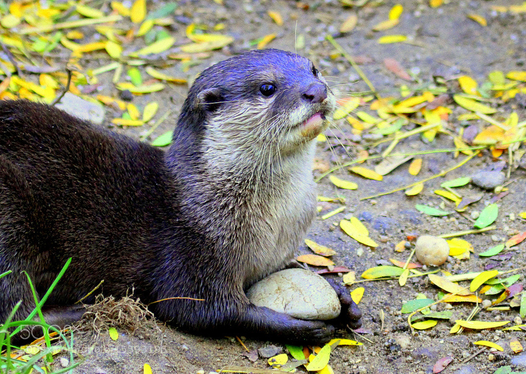 Photograph Asian small-clawed otter holding a stone by Rainer Leiss on 500px
