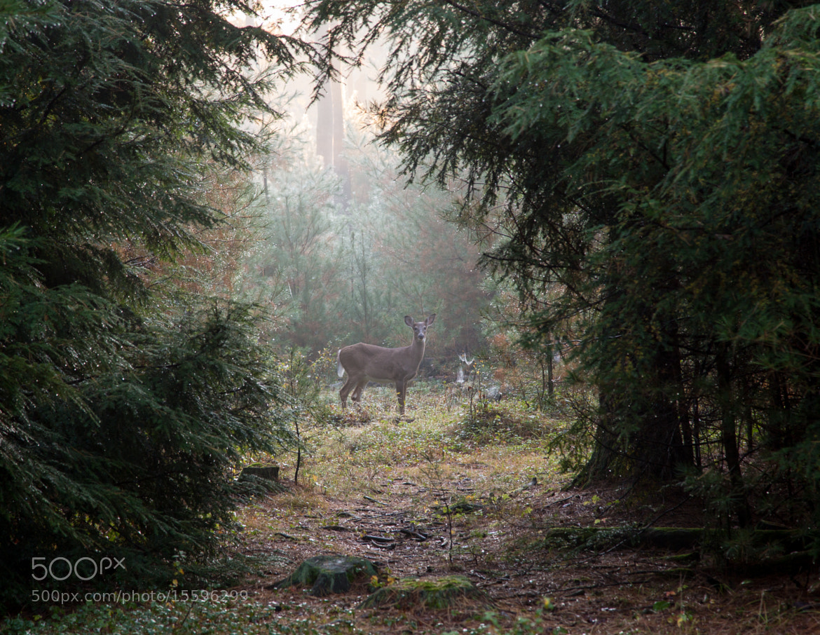 Photograph Deer in the Fog by Scott Nelson on 500px