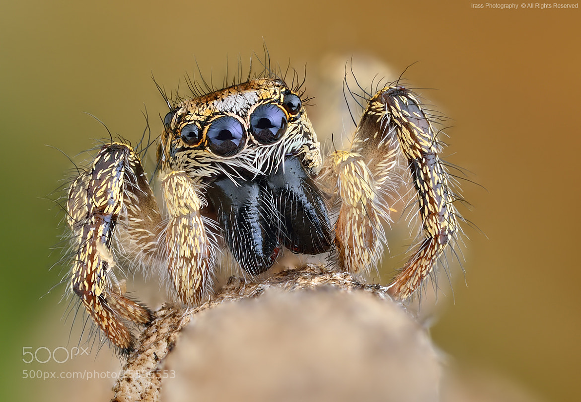 Photograph Salticus scenicus. by ireneusz irass walędzik on 500px