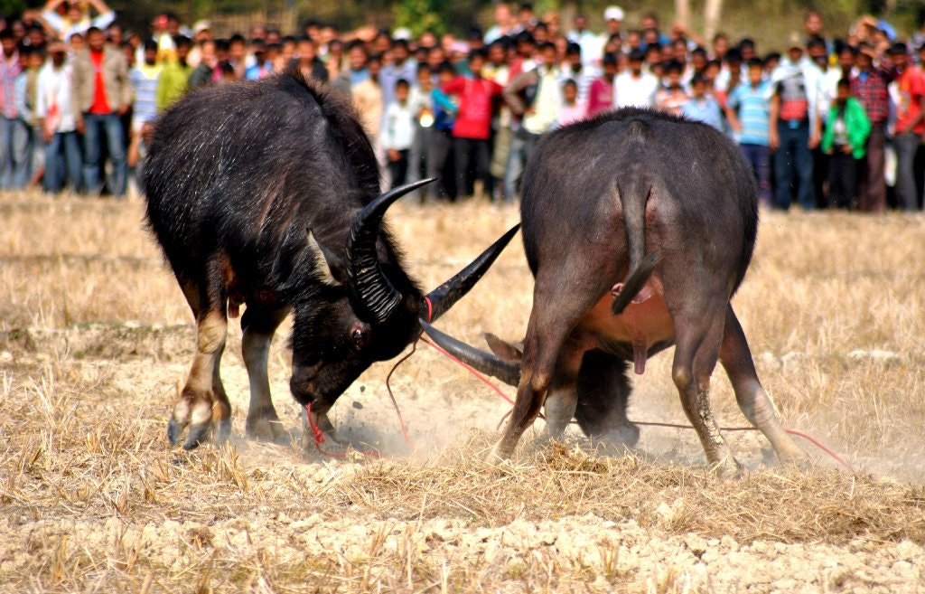 Photograph Buffallo Fight at Assam by Arun J Bharali on 500px