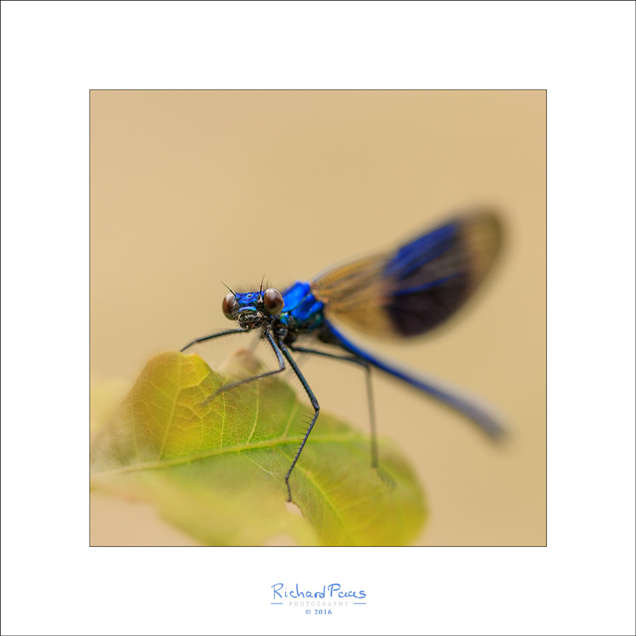 Calopteryx spelenden (Damselfly) by Richard Paas on 500px.com