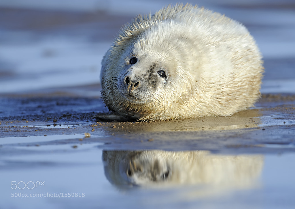 Photograph seal pup reflection by Derek Watt on 500px