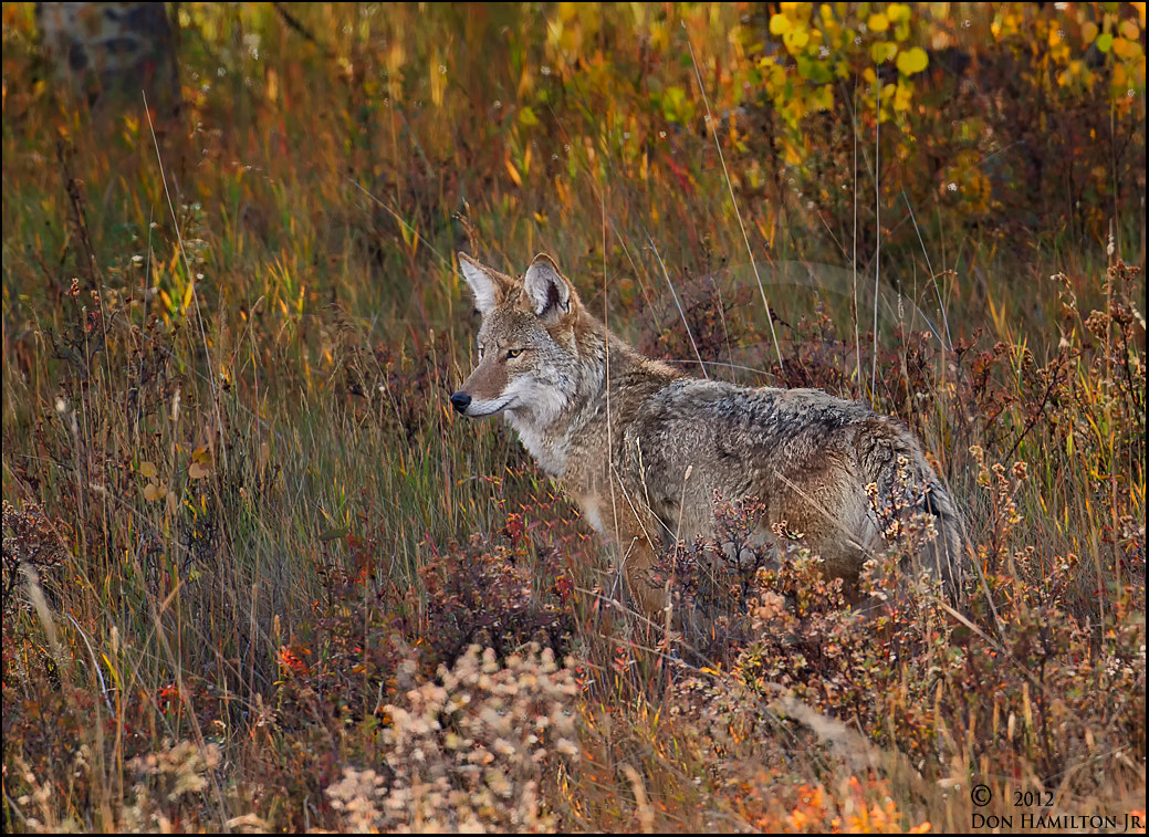 Photograph My  Coyote !!!! by Don  Hamilton Jr. on 500px