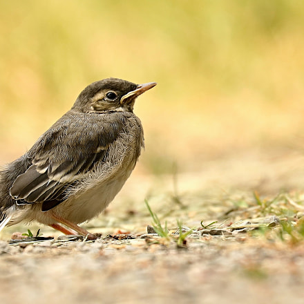 youthful wagtail, Canon EOS 760D
