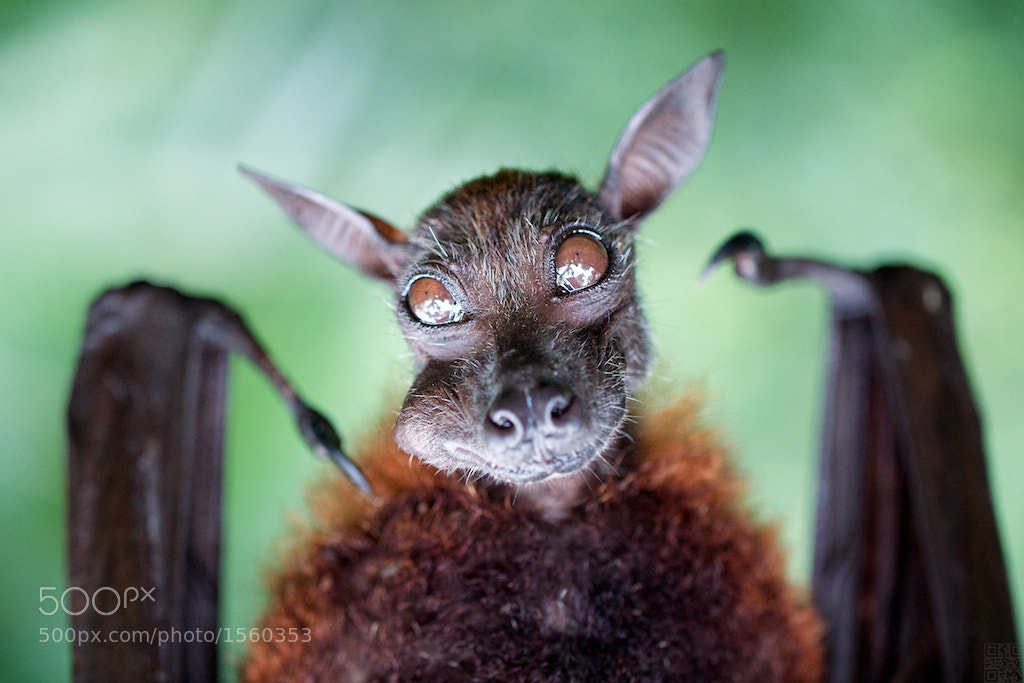 Photograph Bat Portraiture by Benny Liao on 500px