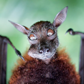 Bat Portraiture by Benny Liao (biskandar)) on 500px.com
