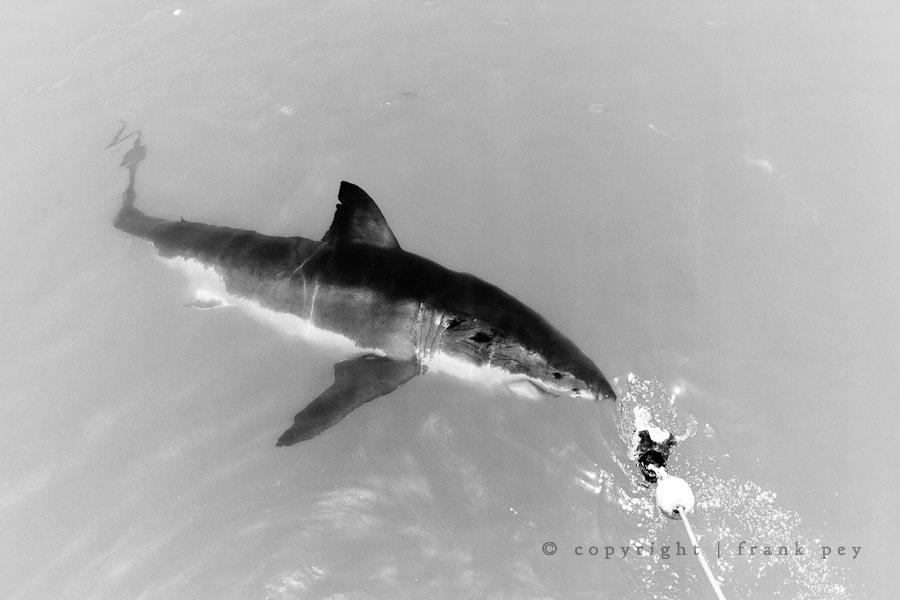 Photograph Great White by Frank Pey on 500px