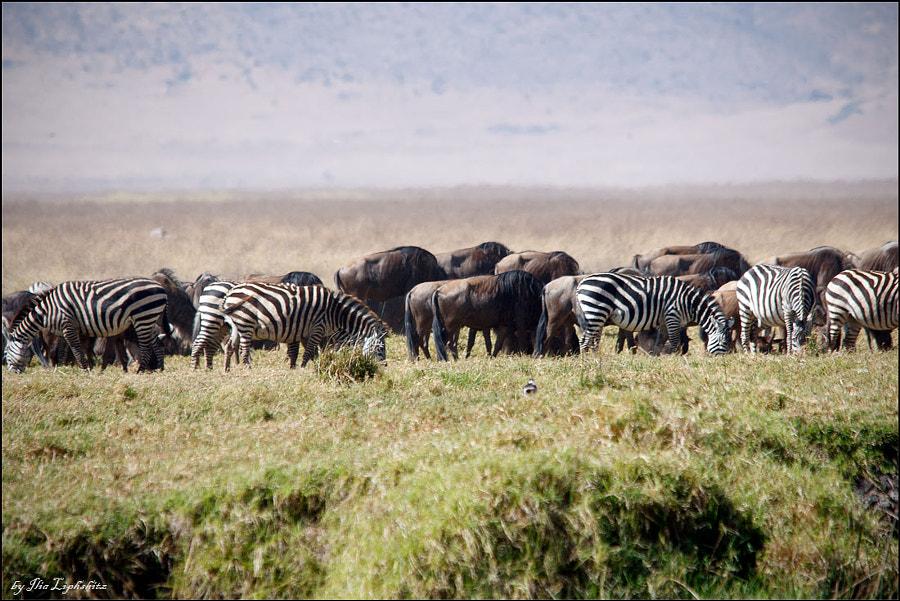 wildebeest & zebra