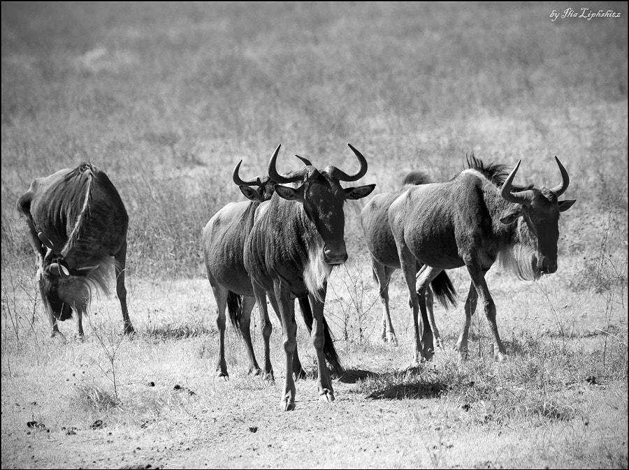 wildebeests ...