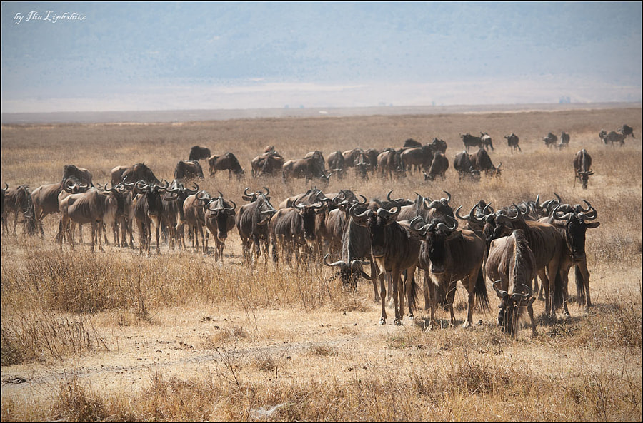 wildebeests...