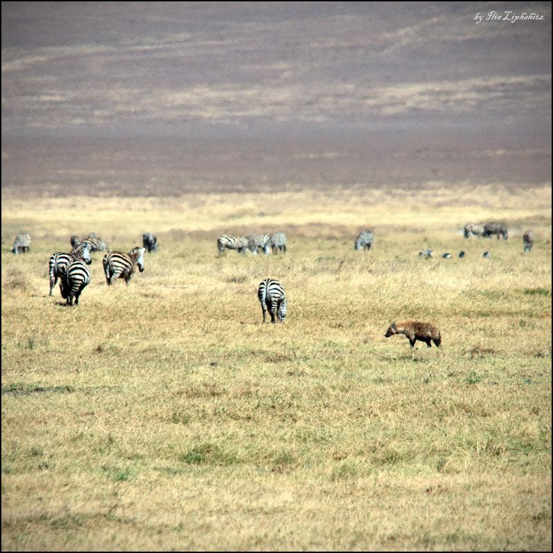 hyena hunts №3