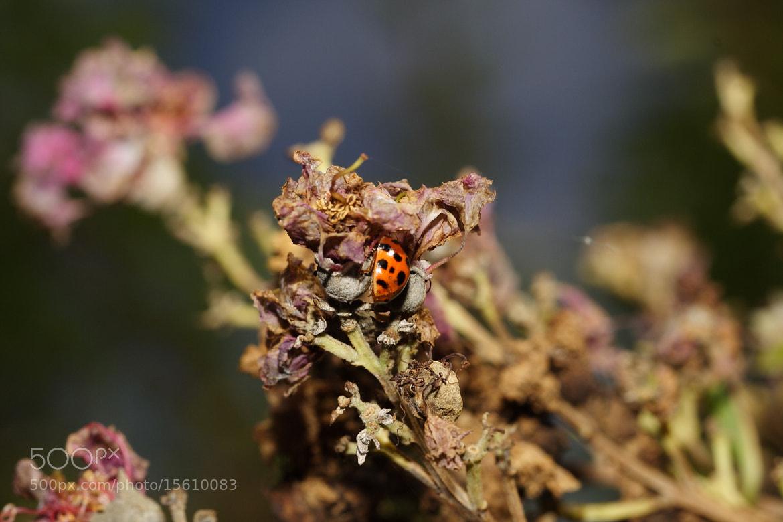 Photograph ladybug by Vasilis Argyropoulos on 500px